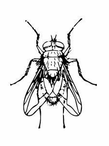 colorear mosca