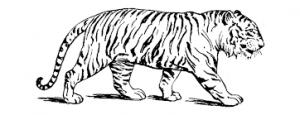Tigres para colorear 1