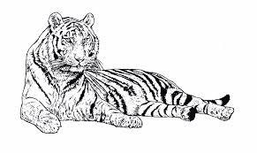 Tigres para colorear 21