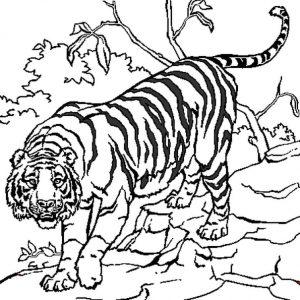 Tigres para colorear 30